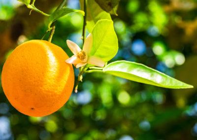Orangenbaum Orangen Frucht und Blüte